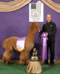 Snowmass Canopa's Kahuna winning the Fawn Male Championship at the 2012 Futurity, the second year in a row he took that honor.