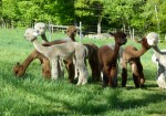 Our group of shorn juvenile females enjoys some green grass on late Sunday afternoon.