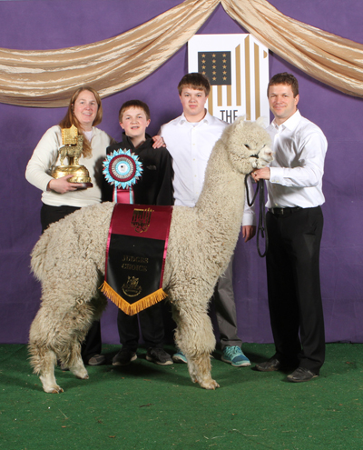 MFI's & KVR's Mint Mo Money after winning both Champion White Male and Judges' Choice Huacaya Male at the 2015 Futurity!