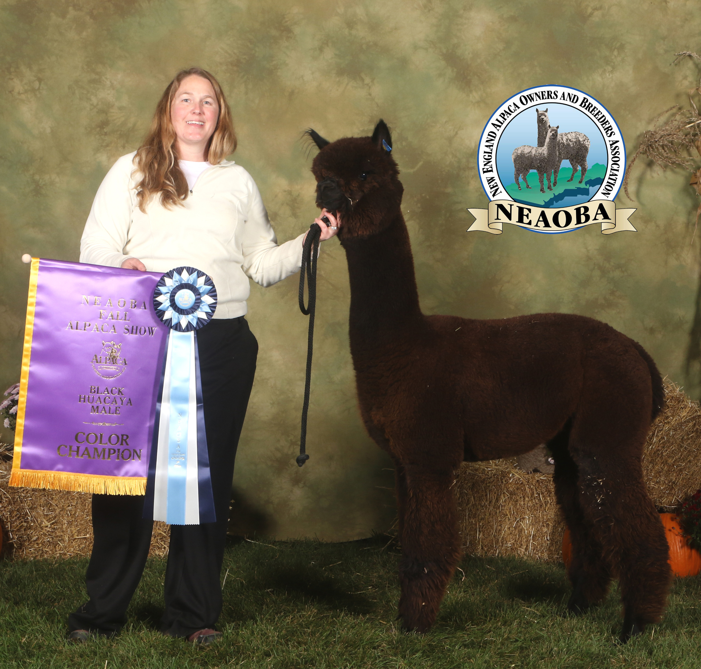 CCNF Skyhawk winning his 3rd Black Color Championship (and 5th banner overall) at the recently held NEAOBA Fall Alpaca Show in Syracuse, NY.